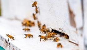 人類不吃蜜蜂,但「蜜蜂消失」仍引發糧食失衡!?