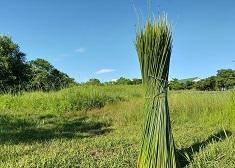 這支吸管草做的-台灣新創團「栽種MIT不塑吸管」