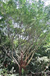本館植物園北部低海拔區中的榕樹