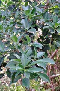 榕樹枝葉是臺灣端午節掛青的常用材料