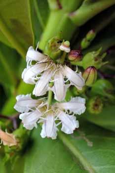草海桐的花