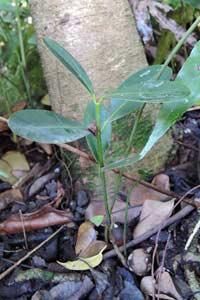植物園中天然萌發的瓊崖海棠小苗
