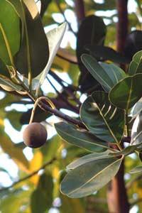 瓊崖海棠樹上的成熟果實