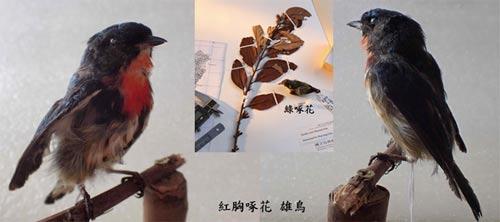 啄花鳥與共生共榮的寄生植物