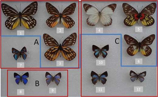 喜食桑寄生植物的粉蝶灰蝶
