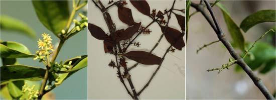 椆樹桑寄生(Loranthus delavayi)的穗狀花序、標本和綠色幼果。