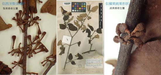 圖左-中:紅花寄生(Scurrula parasitica L.)的梨果桑寄生屬標本,圖右:鈍果桑寄生屬的果與柄連接處是圓鈍形。