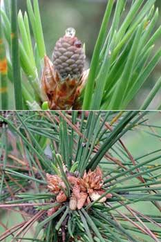 上:黑松雌毬穗 (下):黑松雄毬穗