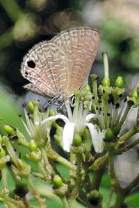 吸引小灰蝶訪花的咖哩樹