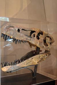 特暴龍頭骨化石