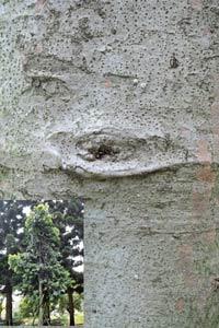 大果貝殼杉