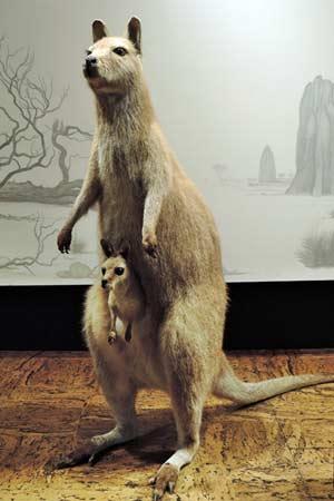 澳洲稀樹大草原的代表-紅頸袋鼠