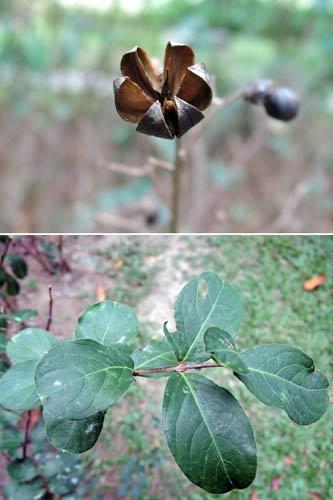 上:紫薇的果實成熟開裂。下:紫薇葉柄短而貼近枝條