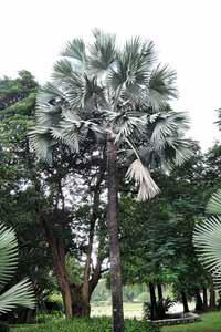 雄偉的霸王櫚植株