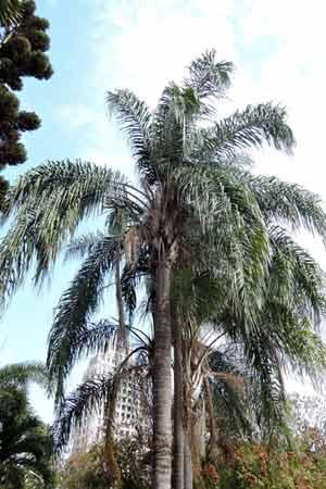 樹姿優美的女王椰子