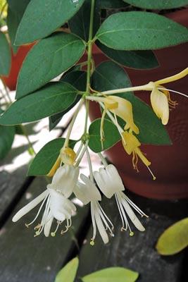 金銀花的花朵