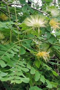 黃豆樹的花