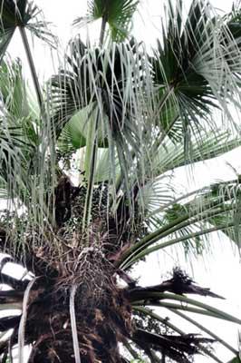 隱藏在莖頂的蒲葵果實