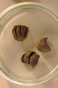 碳化圓果青剛櫟
