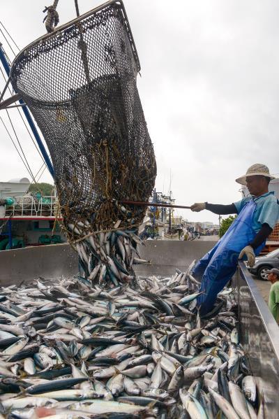 鯖魚是南方澳產業經濟命脈,漁獲量稱霸 全台,謂為鯖魚的故鄉。(莊坤儒攝)
