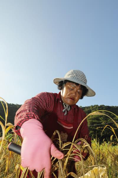 tina潘竹菊採收今年的小米,她對傳統作物有很深的情感。