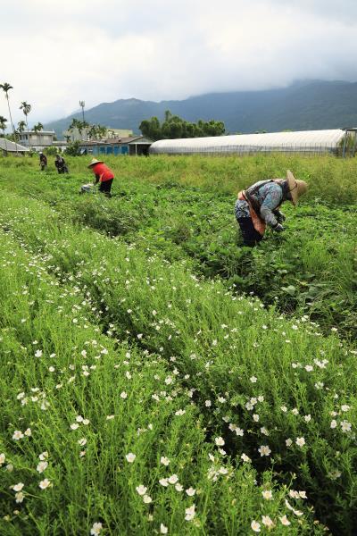 邦查農場推廣野菜,除了傳承阿美族的文化,更是基於憂心氣候變遷的考量,因為野菜不需要細心的照顧,而且較能抵抗病蟲害。
