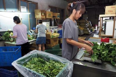 邦查農場的有機蔬菜經過挑選,當天直送全聯超市。