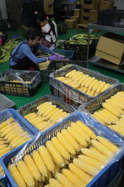 細心、有定性,並且坐得住的中年女性員工,仔細剔除 「跳米」(有變色),不斷重覆地去除毛茸茸的玉米鬚, 以呈現玉米光鮮亮麗的賣相。