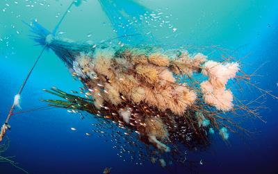 仿效柳珊瑚的桂竹叢人工礁,為軟絲提供隱蔽性的產卵空間,上頭的大量卵莢,證明復育行動成功。 (王銘祥提供)