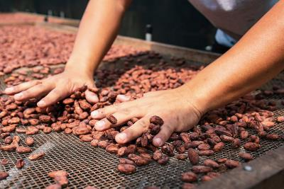 從可可到巧克力,必須經歷多道步驟,圖為在太陽底下乾燥的可可豆,曬到水份僅6%,可以入倉長期貯存。