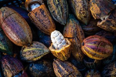 形若木瓜的可可果,籽實大、果肉少,沒有直接食用的價值,馬雅人取其作飲品,開啟了巧克力的奇幻旅程。(林旻萱攝)