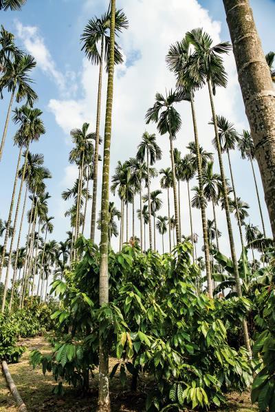 檳榔樹與可可樹交雜生長, 是屏東產地的特殊景觀。