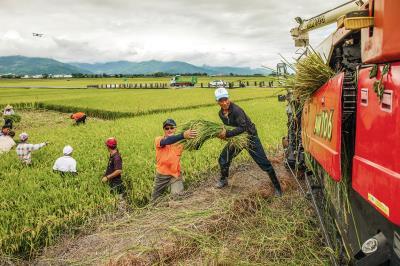 池上秋收稻穗藝術節前,農民一起收割舞台區的稻米,其餘待藝術節結束再收割。(台灣好基金會提供,羅正傑攝)