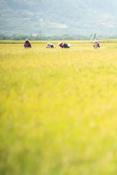 500公頃的池上稻田,沒有一根 電線桿,在秋天收成季節,轉為一片金黃, 成為最天然的「大地舞台」。(林旻萱攝)