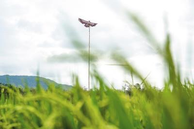 「叫大自然做工」的有機農法, 利用放置鷹偶風箏, 來嚇唬吃稻穀的小鳥。