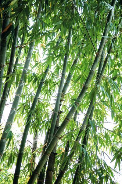 竹子最短三年即可成材,全株都能使用, 毫無浪費,被歐洲人譽為 「天堂來的植物」。