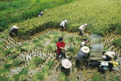 傳統手工割稻