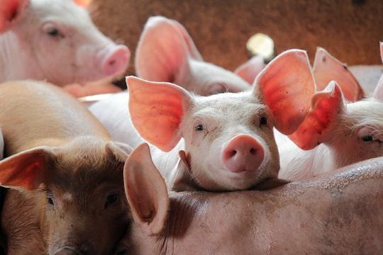 進擊的美豬:如何用英文表達美國豬肉開放進口?