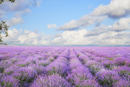 薰衣草|浪漫•芬芳•療癒 Lavender: A Spice, Fragrance, and Medicine?