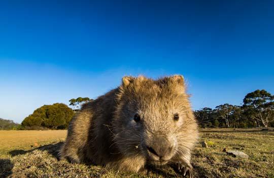 超乎想像的可愛生物 —— 袋熊 Amazing Wombats